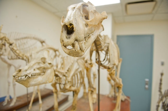Skeletons of a lion (foreground) and a pig (background) which were very likely part of the Jenks Museum Collection.