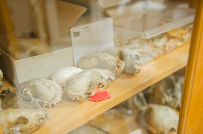 A cabinet full of mink skulls in the basement of the biology building at Brown.
