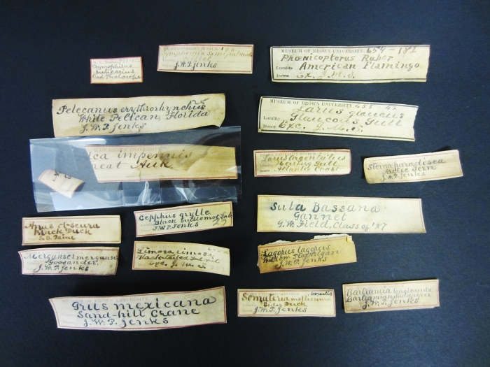 Assorted Jenks Museum bird egg labels in (presumably) Jenks' own handwriting. How can you not love that Victorian penmanship?