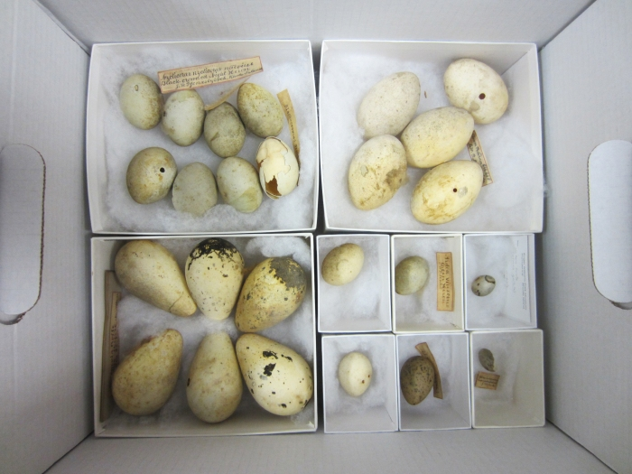 A box of Jenks Museum eggshells with original labels, Museum of Natural History in Providence.
