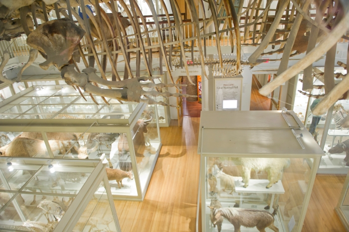 View of the Great Mammal Hall at Harvard's Museum of Comparative Zoology from the second floor.
