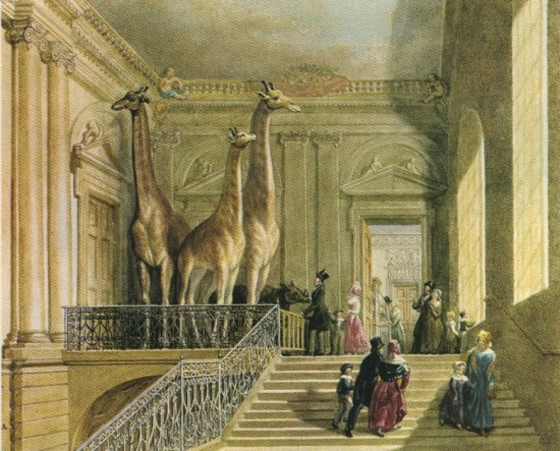 Giraffes at the British Museum of Natural History
