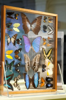 A display of numerous butterfly species in the Discovery Room of the Yale Peabody Museum