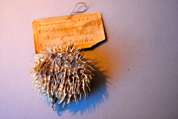 A porcupinefish from the Jenks Museum.