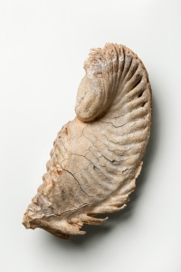 Mammoth tooth from the Jenks Museum collection. Photo by Howard Chu Studio for Rhode Island Monthly.